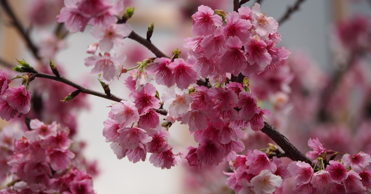 Ботсад ИГУ проведет в Иркутске праздник сакуры.