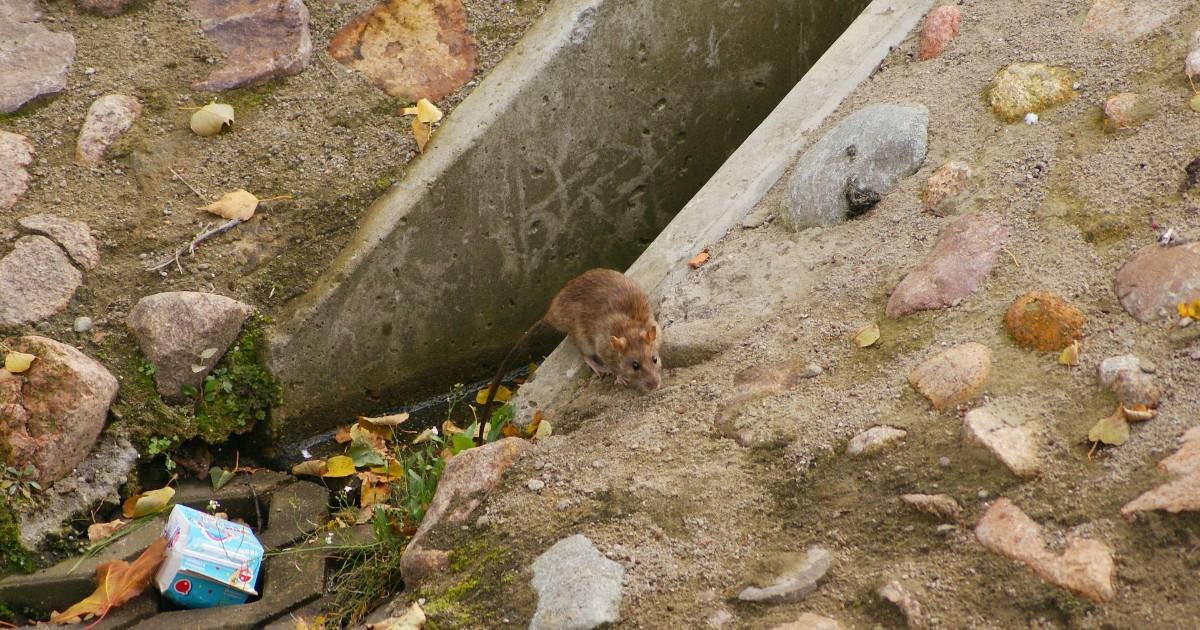 Жители Ленинского района пожаловались на появление крыс из-за скопившегося мусора