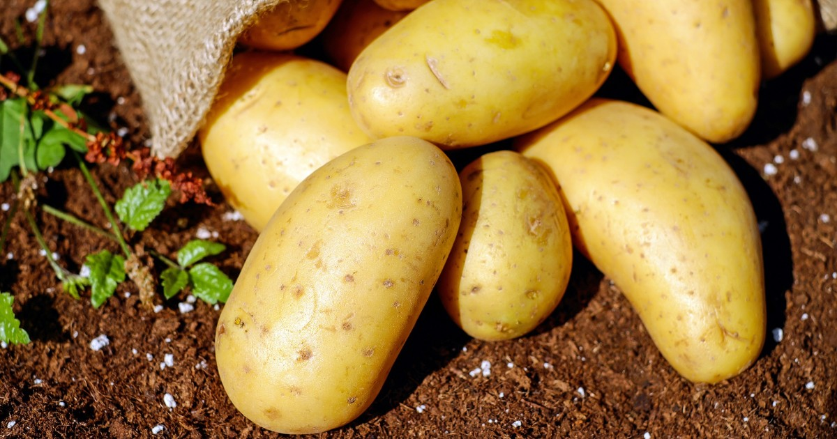 В Иркутской области пройдет чемпионат по уборке картофеля. - Верблюд в огне
