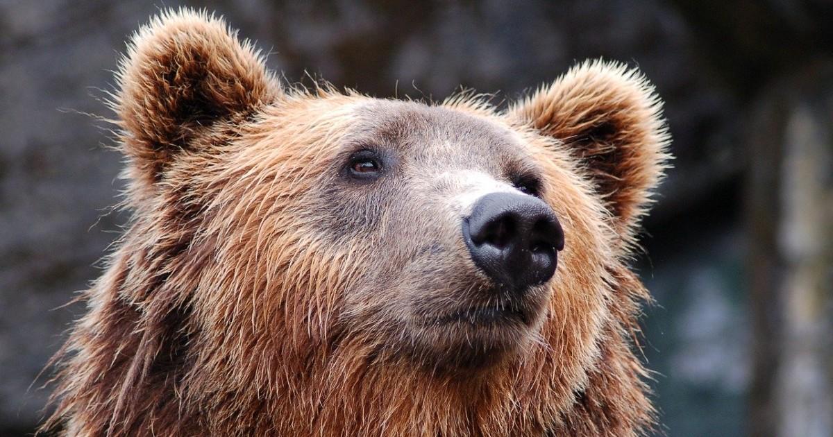 Исследование: как россияне относятся к медведю как к символу страны. Ждем опрос про шапки-ушанки - Верблюд в огне