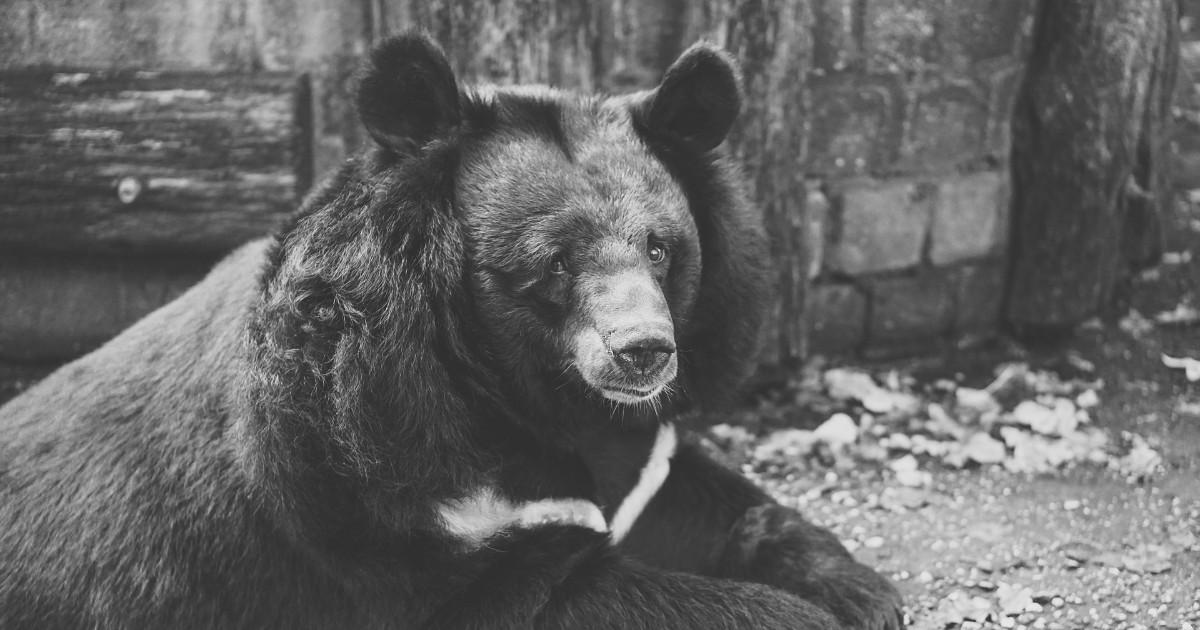 Прокуратура не нашла нарушений после публикации видео с «плачущим» медведем - Верблюд в огне