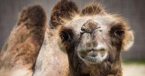 В Астраханской области верблюд бежал впереди поезда и задержал его на 44 минуты - Верблюд в огне