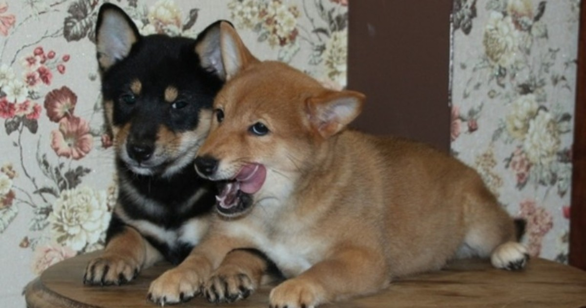 Иркутская зоогалерея продает щенков сиба-ину, чтобы оплатить счет за электричество