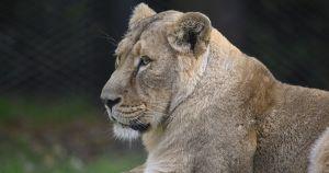 В Тулуне держат львицу в гараже: животное находится в небольшой клетке