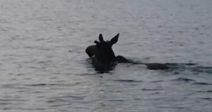 В Иркутске лось решил искупаться в водохранилище. Компанию составило МЧС