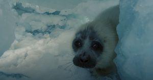 Фильм про байкальскую нерпу стал самым кассовым среди неигрового кино в России