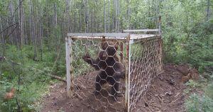 Жители Усть-Илимского района спасли пойманного браконьерами медведя