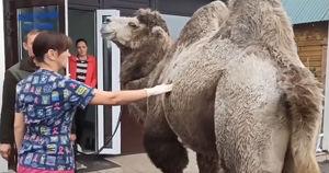 Видео: верблюд гулял у стадиона «Динамо» в Иркутске