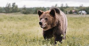 В Сибири медведи стали чаще выходить к людям. Почему так и что с этим делать? - Верблюд в огне